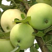 Яблоня карликовая Юнга