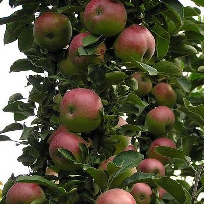 Яблоня колонновидная Арбат купить.