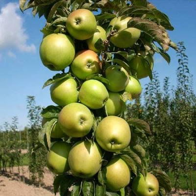 Яблоня колонновидная Чебурашка купить.