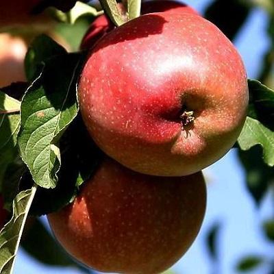 Яблоня колонновидная Джин купить.