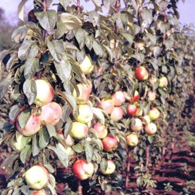 Яблоня колонновидная Кумир купить.