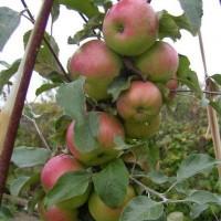 Яблоня колонновидная Малюха