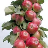 Яблоня колонновидная Московское ожерелье