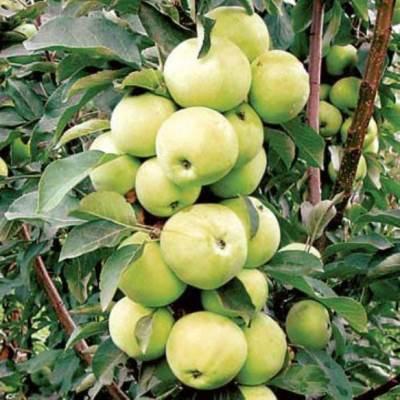 Яблоня колонновидная Телеймон купить.