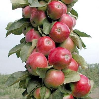 Яблоня колонновидная Валюта купить.