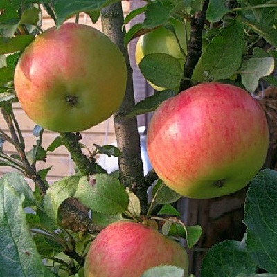 Яблоня колонновидная Васюган купить.