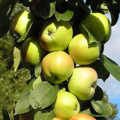 Яблоня колонновидная Янтарное ожерелье купить.