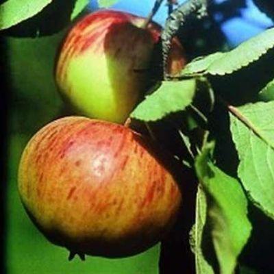 Яблоня Коричное полосатое купить.