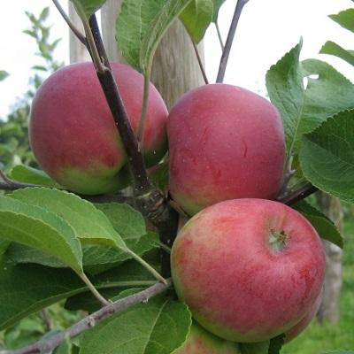 Яблоня Красное раннее купить.