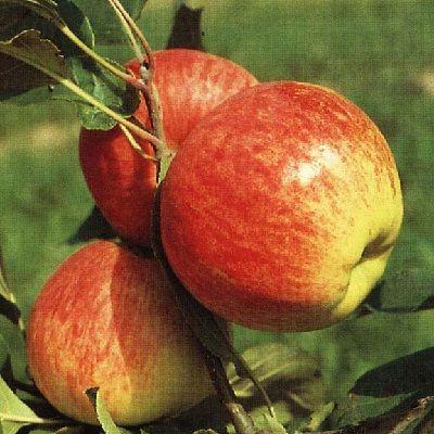 Яблоня Мантет купить.