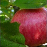 Яблоня Медуница