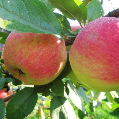 Яблоня Мелба купить.