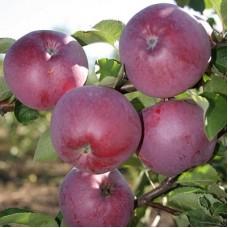 Яблоня полукарликовая Спартан