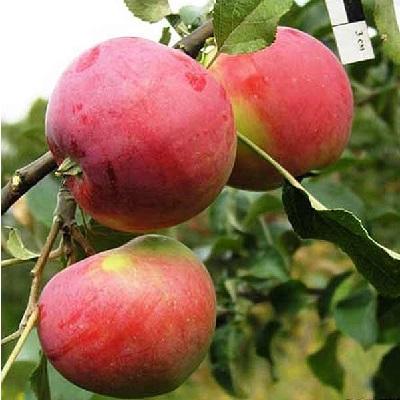 Яблоня Сувенир Алтая купить.