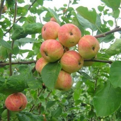 Яблоня Уралец  купить.