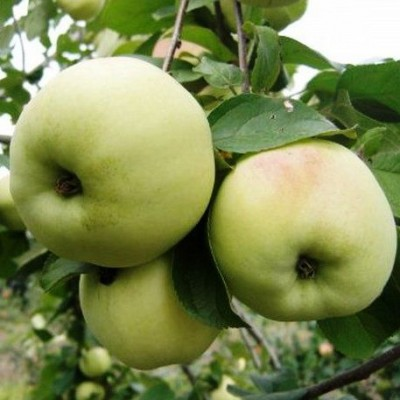 Яблоня Вита купить.