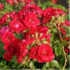 Роза канадская парковая Чамплейн