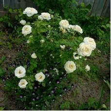 Роза канадская парковая Каква