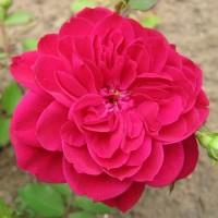 Роза канадская парковая Квадра