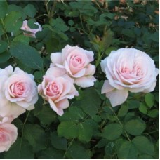 Роза канадская парковая Модэн Блаш