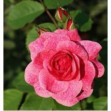 Роза канадская парковая Модэн Руби