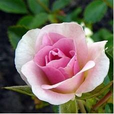 Роза канадская парковая Роял Эдвардс