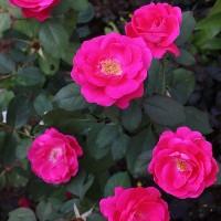 Роза канадская парковая Виннипег Паркс