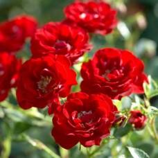 Роза канадская парковая Модэн Файрглоу