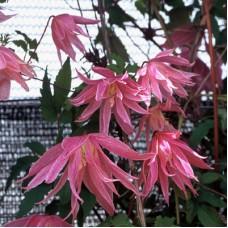 Клематис ботанический Балет Скёт