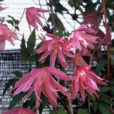 Купить саженцы Клематис ботанический Балет Скёт