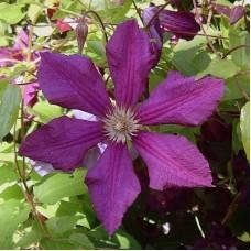 Клематис ботанический Дженни