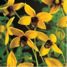 Клематис ботанический Голден Тиара