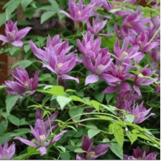 Клематис ботанический Констанс