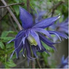Клематис ботанический Лагуна