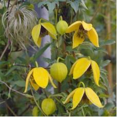 Клематис ботанический Ориндж Пил