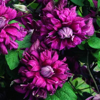 Купить саженцы Клематис ботанический Пурпуреа Плена Элеганс
