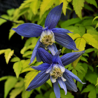 Купить саженцы Клематис ботанический Столвик Голд