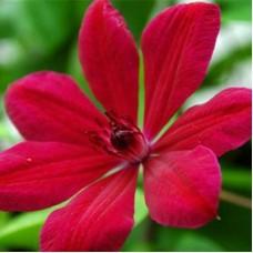 Клематис крупноцветковый Алана