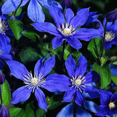 Купить саженцы Клематис крупноцветковый Арабелла