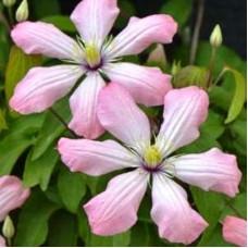 Клематис крупноцветковый Ай Нор
