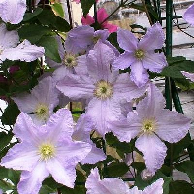 Купить саженцы Клематис крупноцветковый Блекитни Аниол