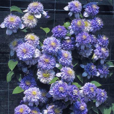Купить саженцы Клематис крупноцветковый Блю Лайт