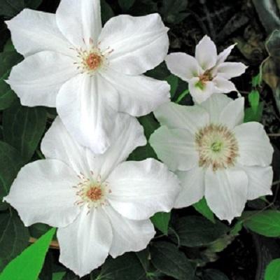 Купить саженцы Клематис крупноцветковый Фую-но-Таби