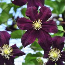 Клематис крупноцветковый Гизела