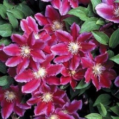 Купить саженцы Клематис крупноцветковый Ханиа