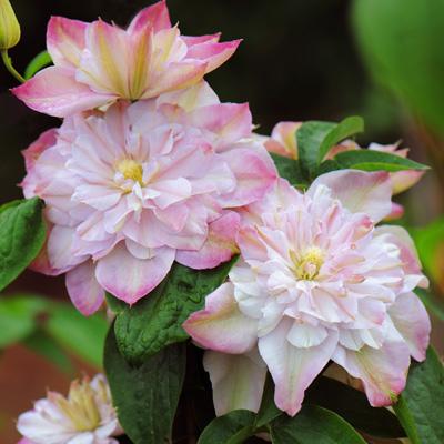 Купить саженцы Клематис крупноцветковый Инносент Блаш