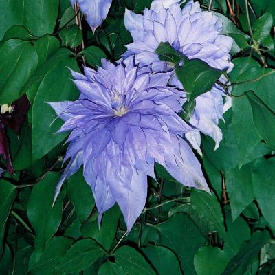Купить саженцы Клематис крупноцветковый Кантес оф Лавлейс