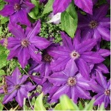 Клематис крупноцветковый Каспер