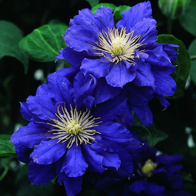 Купить саженцы Клематис крупноцветковый Кири Те Канава