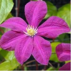 Клематис крупноцветковый Криспина